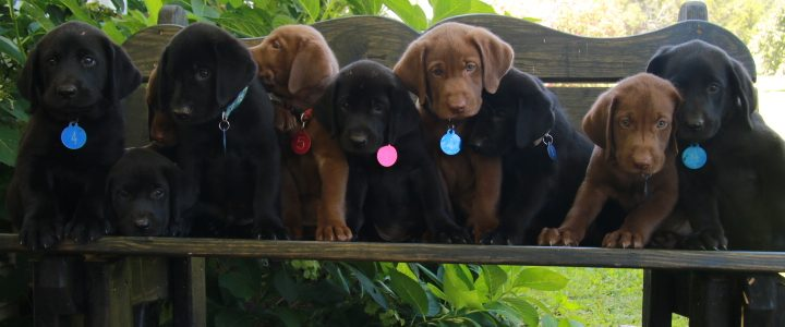 Black Lab Puppies Available!
